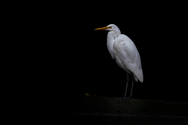 Eastern Great egret (Ardea modesta) stands under a bridge in a canal looking for fish that may have come upstream during the tide. Elwood canal, Elwood, Victoria, Australia. May, 2020