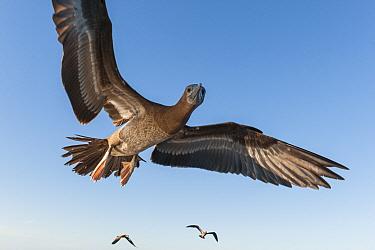Brown booby ( Sula leucogaster brewsteri) in flight, Islas Marias Archipelago, Marias Biosphere Reserve, Mexico.