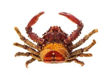 Moss-backed spider crab (Mithrax) on white background, Islas Marias Archipelago, Marias Biosphere Reserve, Mexico.