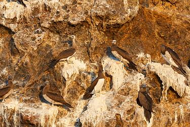 Brown booby (Sula leucogaster brewsteri) colony on the coast of Islas Marias Archipelago, Mexico.