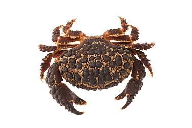 American Pebble Crab ( Daria americana ) on white background, Islas Marias Archipelago, Marias Biosphere Reserve, Mexico.