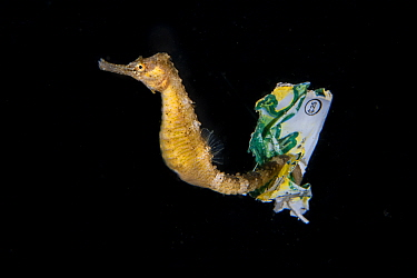 Tiger tail seahorse (Hippocampus comes) riding on a piece of plastic waste, tail entwined around it, Balayan Bay from Anilao, Mabini, Batangas, the Philippines.