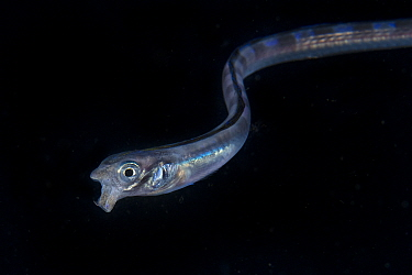 Young snake blenny (Xiphasia setifer) with open mouth. swimming in the open ocean at night, Balayan Bay, off Anilao, Batangas, Philippines, Pacific Ocean.
