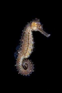 Spiny seahorse (Hippocampus histrix) Balayan Bay, off Anilao, Batangas, Philippines, Pacific Ocean