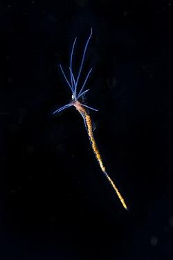 Terrebellid worm (Terebellidae sp) Balayan Bay, off Anilao, Batangas, Philippines, Pacific Ocean