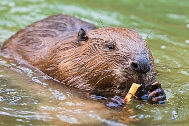 European beaver (Castor fiber) feeding in water, Alhama river, Ebro Valley. Navarra. Spain