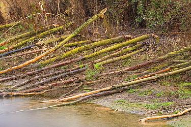 European beaver (Castor fiber) felled tree trunks. Alhama river, Ebro Valley. Navarra. Spain