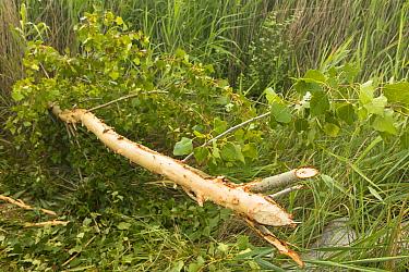 Tree felled by European beaver (Castor fiber) along Alhama river, Ebro Valley. Navarra. Spain