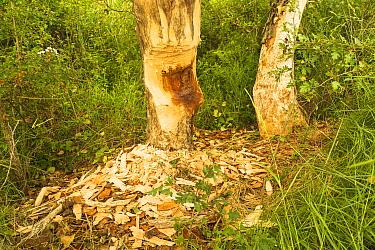 Tree trunks gnawed by European beaver (Castor fiber) Alhama river, Ebro Valley. Navarra. Spain
