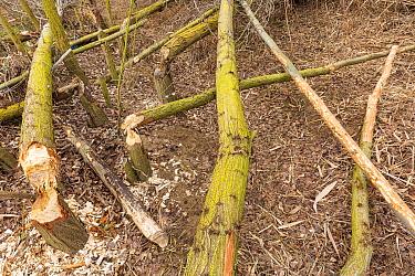 Trees felled by European beaver (Castor fiber) along Alhama river, Ebro Valley. Navarra. Spain