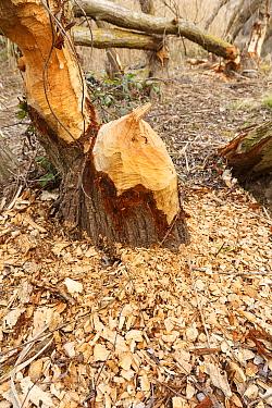 European beaver (Castor fiber) gnawed tree trunk. Alhama river, Ebro Valley. Navarra. Spain