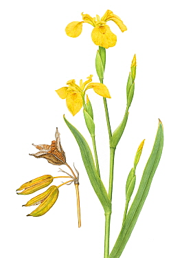 Iris (Iris pseudacorus) flower and seed pod illustration.