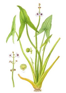 Arrowhead (Sagittaria sagittifolia) watercolour illustration