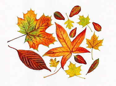 Autumn leaves including Sweet gum (Liquidambar styraciflua); Hawthorn (Crataegus monogyna); Tutsan (Hypericum androsaemum); Norway maple (Acer platanoides); Prunus sp and Strawberry tree (Arbutus uned...