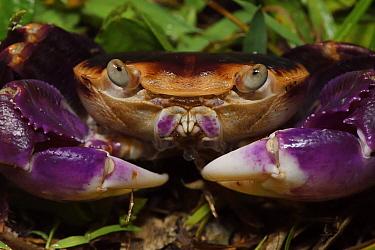 Violet land crab (Geograpsus grayi) SanXianTai/ San-Hsien-T'ai Island, Chenggong township, Taiwan