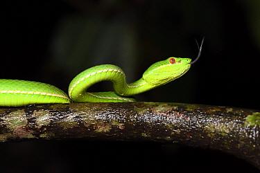 Taiwan green bamboo viper, (Trimeresurus stejnegeri) endemic species. National Forest Recreation Area, Taitung, Taiwan