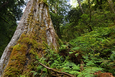 Ancient Formosan / Taiwan red cypress tree (Chamaecyparis formosensis) endemic species, Lalashan Forest Reserve, Baling, Taiwan
