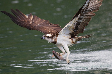Osprey (Pandion haliaetus) catching fish, Bi Tan Bay, Taiwan