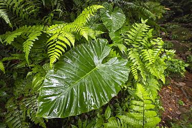 Large leaf of Giant Elephant's Ear (Alocasia odora), in rainforest, Yangminshan, Taiwan