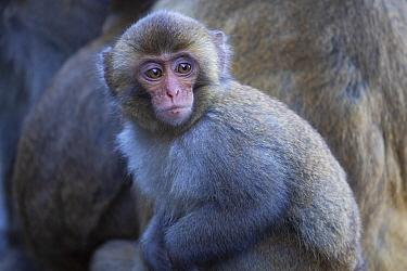Formosan rock macaque (Macaca cyclopis) Alishan National Recreational Forest, Taiwan