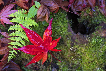 Autumn leaves of Japanese maple (Acer palmatum) and fern, Lu Shan, Taiwan
