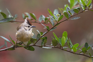 Taiwan yuhina (Yuhina brunneiceps) endemic species, Alishan National Scenic Area, Taiwan