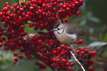 Taiwan yuhina (Yuhina brunneiceps) endemic species, perched amongst red berries, Alishan National Scenic Area, Taiwan