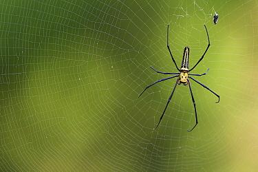 Northern Golden orb-weaver spider (Nephila pilipes) Taiwan