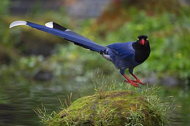 Taiwan blue magpie, (Urocissa caerulea), in Taipeh, Taiwan, endemic species