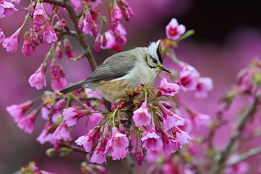 Taiwan yuhina (Yuhina brunneiceps) perched amongst pink blossom, Alishan National Scenic Area, Taiwan. Endemic species