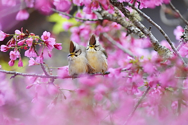 Taiwan yuhina (Yuhina brunneiceps) pair perched amongst pink blossom, Alishan National Scenic Area, Taiwan. Endemic species
