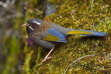 Taiwan Laughing-thrush (Garrulax morrissonianus) endemic species,. Alishan National Scenic Area, Taiwan
