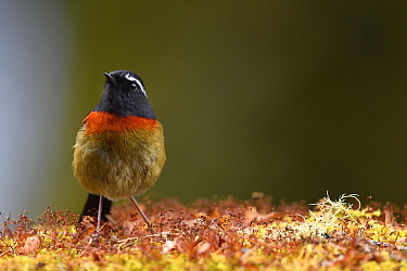 Taiwan Collared bush robin (Tarsiger johnstoniae) endemic species, Hehuanshan, Taroko National Park, Taiwan