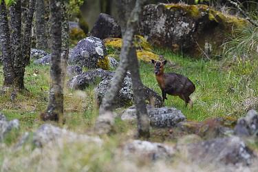 Taiwan Reeves's muntjac deer (Muntiacus reevesi formosanus) fawn, Alishan National Scenic Area, Taiwan