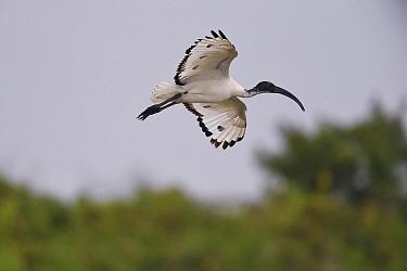 Black-headed ibis (Threskiornis melanocephalus) Tainan, Taiwan.