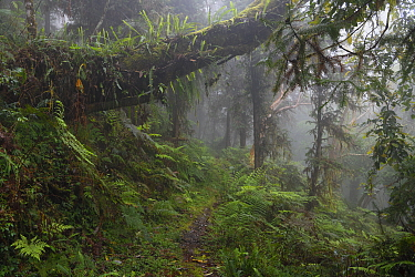 Cloud forest, Yushan National Park, Taiwan