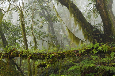 Cloud forest in the Yushan National Park, Taiwan