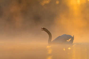 Mute swan (Cygnus olor) backlit on a misty morning  Valkenhorst Nature reserve, Valkenswaard, The Netherlands  May