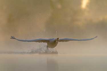 Mute swan (Cygnus olor) taking off in flight on a misty morning  Valkenhorst Nature reserve, Valkenswaard, The Netherlands  May
