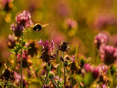 Common Carder Bee (Bombus pascuorum) feeding Wales, UK