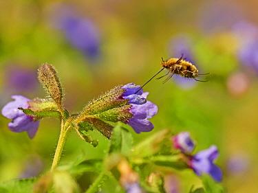 Dark-edged bee fly (Bombylius major) feeding Wales, UK