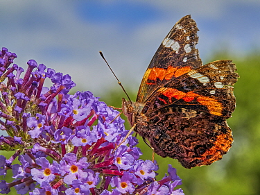 Red Admiral butterfly (Vanessa atalanta) feeding on buddleia, Wales, UK, July.