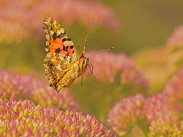 Painted lady butterfly (Vanessa cardui) flying over sedum (Hylotelephium) in a garden. Wales, UK. August.