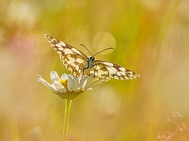 Marbled White (Melanargia galathea) in meadow UK. (This image can be sold as Rights managed or Royalty free).