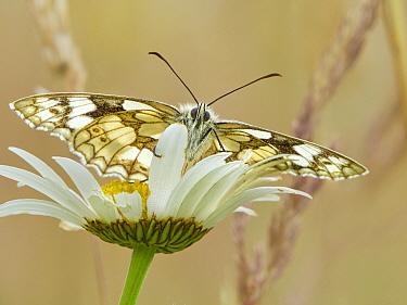 Marbled White (Melanargia galathea) in meadow UK