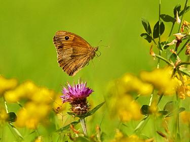 Meadow Brown butterfly (Maniola jurtina) flying Wales, UK. July.