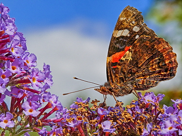 RF - Red Admiral butterfly (Vanessa atalanta) feeding on buddleia, Wales, UK. July. (This image can be sold as Rights managed or Royalty free).