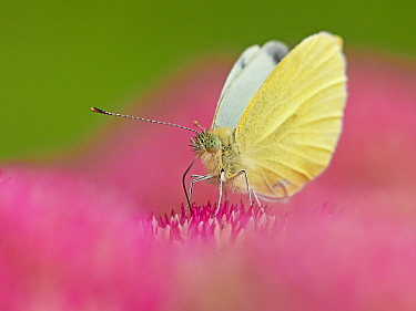 RF - Small white butterfly (Pieris napi) feeding on sedum Wales, UK. September. (This image can be sold as Rights managed or Royalty free).