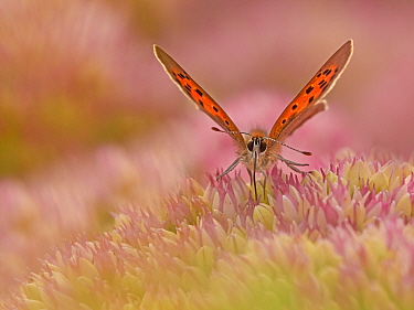 RF - Small Copper butterfly (Lycaena phlaeas) feeding on sedum, Wales, UK. September. (This image can be sold as Rights managed or Royalty free).