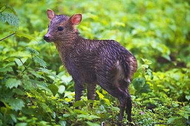 Taiwan or Formosan Reeves's muntjac baby, (Muntiacus reevesi formosanus), Walami cabin, Yushan National Park, Taiwan. Endemic subspecies.